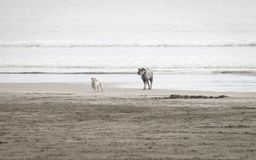Landscape image of Two Dogs playing together on a soft sand beach royalty free stock photos