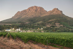 Landscape image of a vineyard, Stellenbosch, South Africa. Royalty Free Stock Images