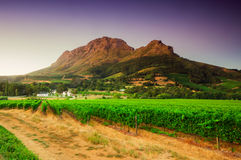 Landscape image of a vineyard, Stellenbosch, South Africa. Vineyards of Stellenbosch wine region with a bleautiful sky at sunset, South africa royalty free stock image