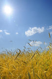 Landscape image of a wheat field Royalty Free Stock Images