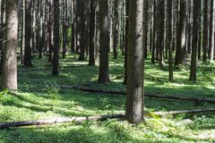 LANDSCAPE INSIDE THE CONIFEROUS FOREST WITH GREEN GRASS. Thick green summer forest. royalty free stock photo
