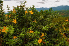 The landscape on the island of Borneo. Yellow Flowers and view of the mountains in the horizon. Sabah, Malaysia. Royalty Free Stock Photography