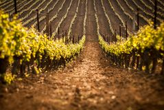 Italian vineyard landscape. Landscape of italian vineyards rows royalty free stock image