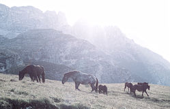 Landscape Italy, Dolomites - at sunrise horses graze on the barren rocks Stock Images