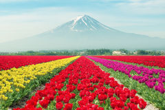 Landscape of Japan tulips with Mt.fuji. Colorful tulips. stock photo