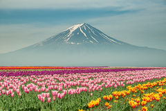 Landscape of Japan tulips with Mt.fuji in Japan stock photo