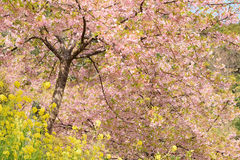 Landscape of Japanese Spring With pink Cherry Blossoms Royalty Free Stock Photo
