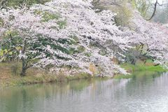 Landscape of Japanese White Cherry Blossoms around Pond waters Stock Photography