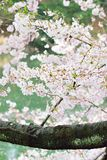 Landscape of Japanese white cherry blossoms. With blurred background in vertical frame Stock Image