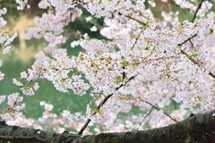 Landscape of Japanese white cherry blossoms. With blurred background in horizontal frame Royalty Free Stock Images