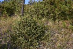 Juniperus communis shrubs in Italy stock images