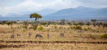 Landscape of Kenya with animals, trees and hills Stock Image