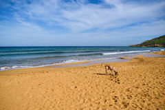 Landscape with a Labrador fetching a ball on Ramla bay - Gozo, Malta Stock Photo