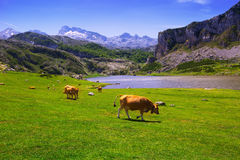 Landscape with lake and cows Royalty Free Stock Photo