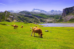 Landscape with lake and cows Stock Image