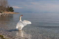 Landscape of Lake Garda from Padenghe sul Garda, Brescia, Italy. Lake Garda Landscape, with a Swan, captured on the morning near Padenghe sul Garda, Brescia Stock Image