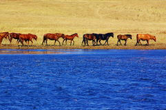 Landscape of lake and horses Royalty Free Stock Images