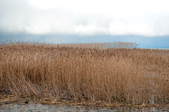 Landscape of lake and reeds Stock Photography