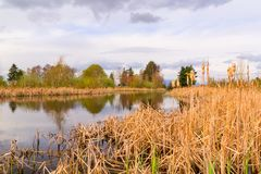 Landscape of lake and reeds Royalty Free Stock Images