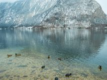 Landscape lake Swan, duck bird Hallstatt in Austria winter season snow Mountain. stock photo