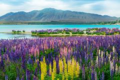 Lake Tekapo Lupin Field in New Zealand. Landscape at Lake Tekapo and Lupin Field in New Zealand. Lupin field at lake Tekapo hit full bloom in December, summer royalty free stock photos