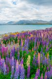 Landscape at Lake Tekapo Lupin Field in New Zealand. Landscape at Lake Tekapo and Lupin Field in New Zealand. Lupin field at lake Tekapo hit full bloom in Stock Photography