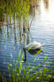 Landscape of lake with white swan Stock Photo
