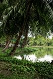 Lakeside view with palm trees in Lumphini Park in B stock images