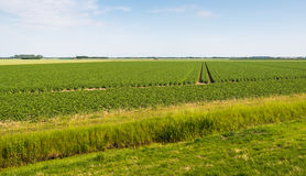 Landscape with a large potato field Royalty Free Stock Images