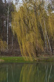 Landscape. Late fall. Weeping willow tree Stock Images