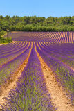 Landscape with lavender Stock Photography