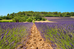 Landscape with lavender Royalty Free Stock Photo