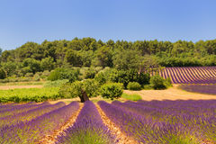 Landscape with lavender Stock Photos