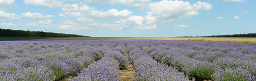 Landscape with Lavender Royalty Free Stock Photos