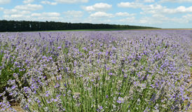 Landscape with Lavender Royalty Free Stock Image