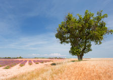 Landscape with Lavender in the Provence Royalty Free Stock Images