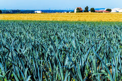 Landscape with leek field Stock Photos