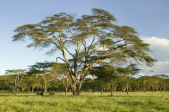 Landscape of Lewa Wildlife Conservancy in green grass of North Kenya, Africa Royalty Free Stock Photography
