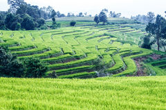 Landscape of the lined Green terraced rice field Royalty Free Stock Image