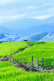 Landscape of the lined Green terraced rice field Royalty Free Stock Photography