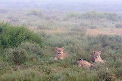 Landscape with lions. Heavy fog. Serengeti, Tanzanya Stock Photo