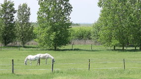 Landscape with Lipizzaner horses stock video footage
