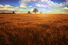 Landscape with a lone tree at sunset barley field in the village Royalty Free Stock Images