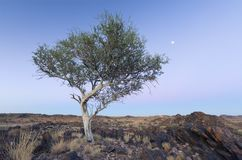 Landscape of a lone tree with white trunk and moon in dry desert Stock Photography
