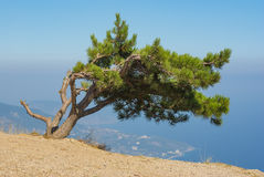 Landscape with lonely pine-tree growing on the edge of precipice Royalty Free Stock Images