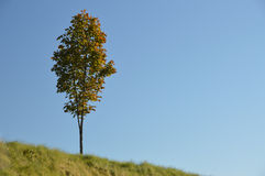Landscape of lonely tree in autumn colors on a grass hill with bright blue sky Royalty Free Stock Photography