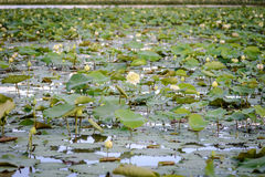 Landscape of lotus pond Royalty Free Stock Photography