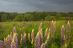 Landscape with  lupine Stock Photo