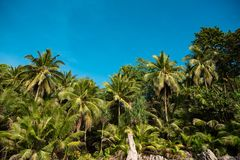 Bright green palms under blue sky. Landscape of lush green palm trees growing in forest on shoreline against blue sky royalty free stock image