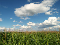 Landscape with maize and clouds Royalty Free Stock Image
